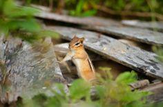 #Nature #Chipmunk #Halifax #Novascotia