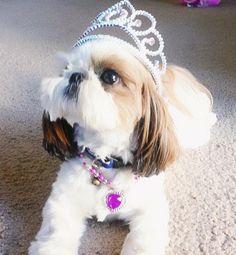 But, but, but.... I'm a princess..... ohhh ok I'll do what you say.  A true Shih Tzu Princess