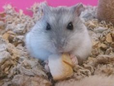 I like eating bread yummy #aww #Cutehamsters #hamster #hamstersofpinterest #boopthesnoot #cuddle #fluffy #animals #aww #socute #derp #cute #bestfriend #itssofluffy #rodents