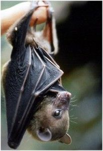 Rousette Fruit Bat
