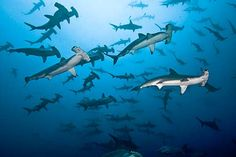 Hammer time, Cocos Island