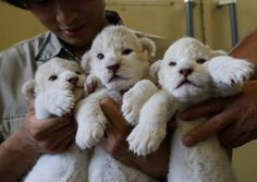 Nine-day-old rare white lioness cubs are held by zoo keepers at Himeji Central Park on July 9, 2013 in Himeji, Japan. The seven white lioness cubs, given birth by three female South African Lions were born on June 6th, 26th and 30th. The cubs will be on public display for the first time later this week. (Photo by Buddhika Weerasinghe/Getty Images)