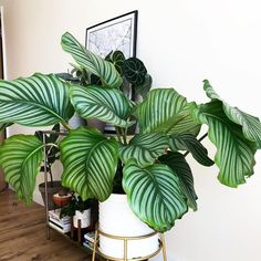 I need a giant like, yesterday! The leaves are stunning 🌿 ? You are in the right place about house plants decor on wall Here we offer you the most beautiful pictures about the hous Potted Plants, Garden Plants, Indoor Plants, Foliage Plants, House Plants Decor, Plant Decor, Calathea Orbifolia, Decoration Plante, Inside Plants
