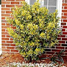 euonymus gold king image - Google Search