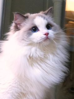 Our Females | Soulmate Ragdolls
