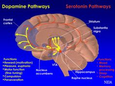 Brain pathways are affected by drugs of abuse.  The dopamine and serotonin pathways are two brain systems affected by drugs of abuse. They are illustrated here.  By altering activity in these pathways, abused substances can influence their function. Dopamine neurons (shown in yellow) influence pleasure, motivation, motor function and saliency of stimuli or events. Serotonin (shown in red) plays a role in learning, memory, sleep and mood.