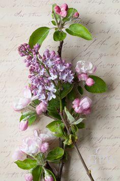 Apple blossom and Lilac - so pretty!