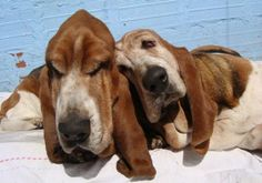 ONE DAY MARTY AND I WILL BE OLD BASSETS TOGETHER