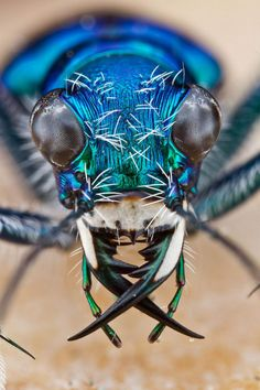 Tiger Beetle by Collin Hutton