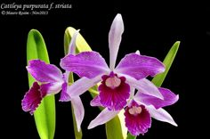 Grupo Orquideófilo del Norte Santafesino: Cattleya purpurata