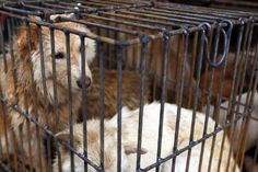 The Illegal Dog Meat Festival That Nobody Is Stopping
