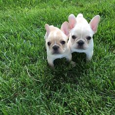 Source: batpigandme.tumblr.com  Hippo and Petunia, French Bulldog Puppies❤️ http://ift.tt/1UeF9YG on Frenchie Friends Being Fuzzy via http://ift.tt/1UXfGgs