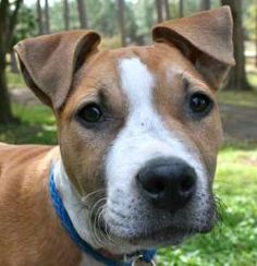 Willow is an adoptable Terrier Dog in Chipley, FL. Willow is a 3 to 4 month old female terrier mix pup, about 20 to 25 pounds. She is very mellow and laid back, as well as very smart for her age. She ...