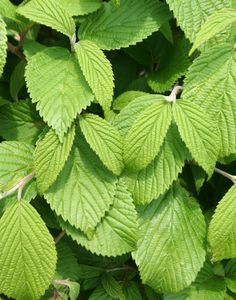 viburnum mariesii doublefile | viburnum plicatum var tomentosum mariesii mariesii doublefile viburnum