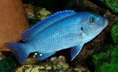 Blue cobalt Cichlid