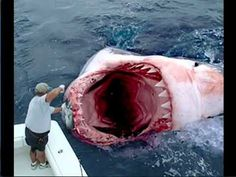world's largest great white shark pictures - Google Search