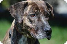 Doylestown, PA - Hound (Unknown Type) Mix. Meet Holland, a dog for adoption. http://www.adoptapet.com/pet/12672206-doylestown-pennsylvania-hound-unknown-type-mix