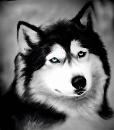 drawing of a husky. Love the blue eyes!