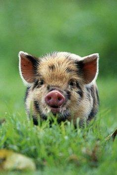 #Ferkel #Schwein #Baby 'tierfotografie