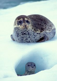 Spotted Seals at LeConte Glacier in Alaska