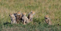 "Cheetah cub ""6 pack"" by africaddict #animals #pets #fadighanemmd"