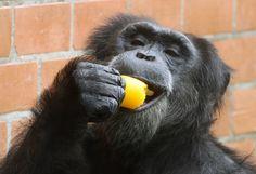 Zoológicos dão sorvete aos bichos para aliviar o calor. Foto: Ale Silva/Agencia…