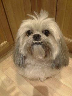 lhasa apso haircuts | Teddy Bear Cut | Llaso-apso dogs ...