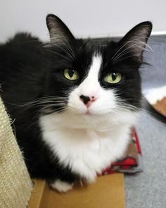Lolli is available for adoption at Seattle Humane http://www.seattlehumane.org/adoption/cats
