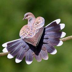 Heart Shaped Pigeon ❤️❤️❤️ | Photography By ©Zahoor Salmi