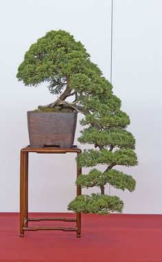 Liked on Pinterest: like this style maybe if i get the japanese dwarf juniper next weekend. something like this style but a little more windswept look
