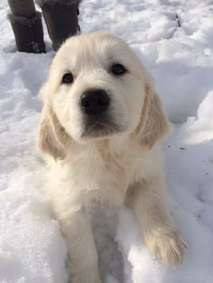 English Cream Golden Retriever <3 #GoldenRetriever