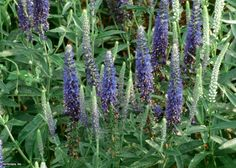 Alpine Speedwell (Veronica alpina 'Goodness Grows') - HGTVGardens Plant Finder --> http://www.hgtvgardens.com/perennials/alpine-speedwell-veronica-alpina-goodness-grows?soc=pinterest
