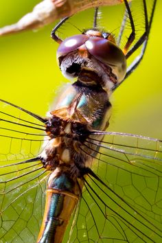Dragon Fly - Just hanging around in the garden waiting for his moment.