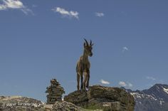 VAL CHISONE - ROURE - Parco Naturale Orsiera Rocciavré - giovane femmina di stambecco e.....omino di pietra | par Mario Turcato