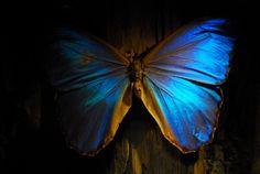 blue butterfly posted via browndresswithwhitedots.tumblr.com