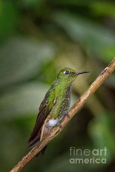Female booted racket tail hummingbird