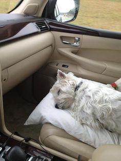 This is exactly how our Westie deals with vacation travels, with the pillow on my lap.