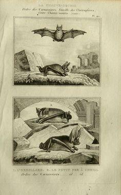 1835 Antique print of BATS  by AntiquePrintsOnly