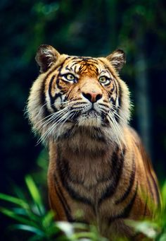 Bengal Tiger ~ so exotic!