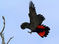 Red-tailed-Black Cockatoo by Eric Yan.
