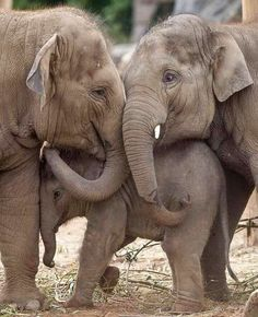 Elephant World, Elephant Family, Elephant Love, Elephants Photos, Save The Elephants, Baby Elephants, Baby Hippo, Elephant Photography, Animal Photography