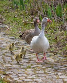 Geese walking with youngsters