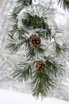 Snowy Christmas pine cones.