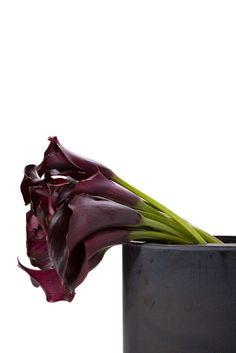 Burgundy / Purple Mini-Callas - Med Length - 100 Stems - Calla Lilies - Types of Flowers | Flower Muse