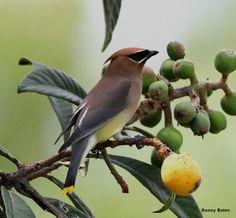 CEDAR WAXWING EATING FRUIT 3-16-14 2317 | Flickr: Intercambio de fotos