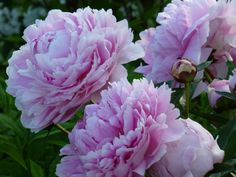 Almost like a rose - peony by eReSaW