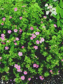 Avoid invasives plant this not that pinterest butterfly bush pink beauty potentilla is a low growing compacted mound shrub with height and spread of 3 mightylinksfo