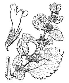 Image result for melissa officinalis drawing black and white