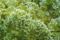 To keep a continuous supply of fresh parsley year round, you might ask, ?Can you grow parsley in winter? If so, does parsley need special care in the winter? The information found in this article can help answer these questions. Indoor Vegetable Gardening, Organic Gardening Tips, Indoor Garden, Herb Garden, Garden Plants, House Plants, Growing Herbs Indoors, Parsley Growing, Parsley Plant