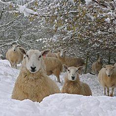 "Brecon Beacon sheep --"" Pray that your flight not occur in wintertime..."" Matt. 24:20"